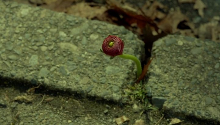 Once Upon a Time podcast 6x17 Awake - Pixie flower during time of the dark curse